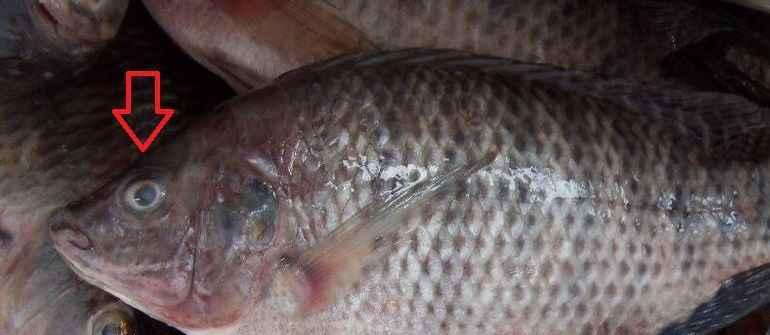 bayat-balık-gözü-1